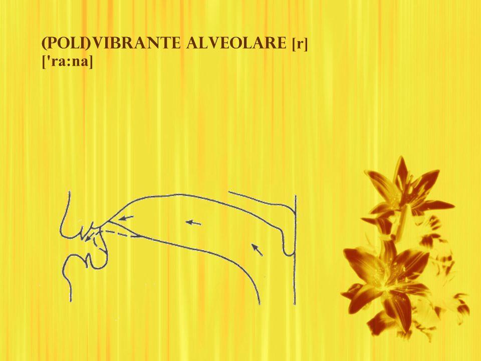 (Poli)vibrante alveolare [r] [ ra:na]